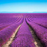 Lavender flower blooming fields endless rows. Valensole provence - 62387628