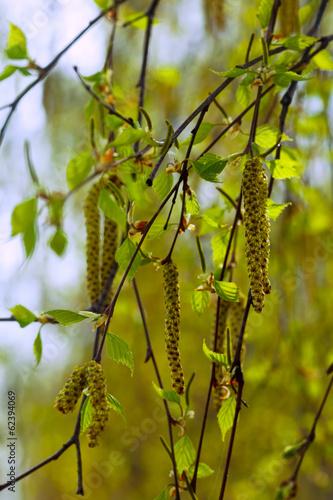 galezie-brzozy-wiosna