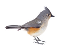 Titmouse Isolated