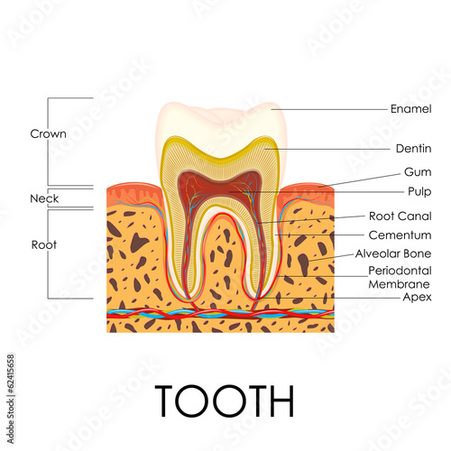 Human Tooth Anatomy Buy This Stock Vector And Explore Similar