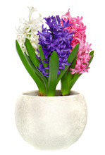Pink, Blue And White Hyacinth ...