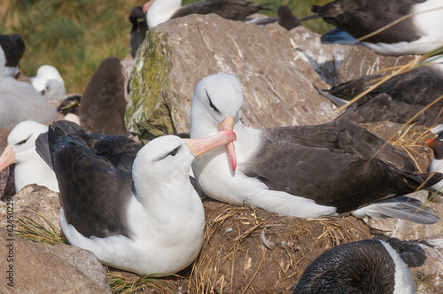 Valokuva  Adult black browed albatross courtship display