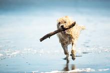 Dog Running On The Beach With A Stick, Muriwai Beach, New Zealan