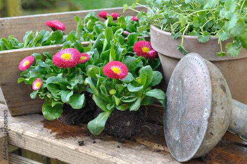 Foto op Canvas Madeliefjes pâquerettes prêtes à planter