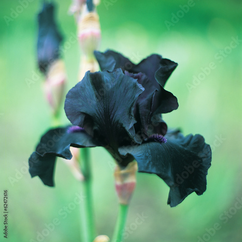 Iris barbatus flower