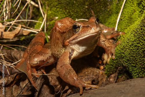 Tuinposter Kikker brown frog