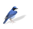 Beutiful standing blue bird, Siberian Blue Robin isolated on whi