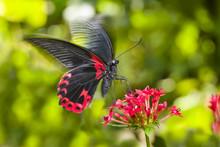 Scarlet Mormon Butterfly