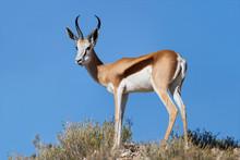 Beautiful Springbok Ram Standing On Ridge In The Kalahari Agains