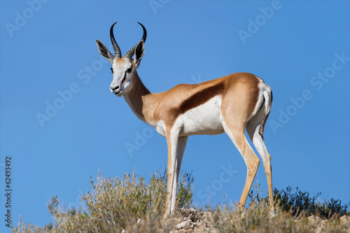 Beautiful springbok ram standing on ridge in the Kalahari agains