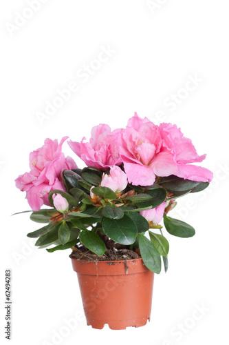 Papiers peints Azalea Blossoming pink azalea in a flowerpot