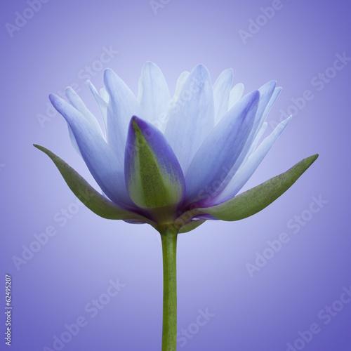 niebieski-lotos