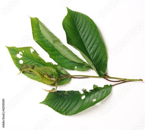 Fototapeta Moth caterpillar  on a cherry leaf obraz