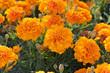 Leinwandbild Motiv Marigold flowers