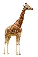 Žirafa izolirana na bijeloj pozadini.