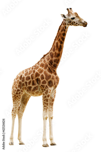 Foto op Canvas Giraffe Giraffe isolated on white background.