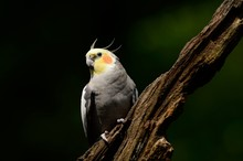 A Beautiful Cockatiel Bird