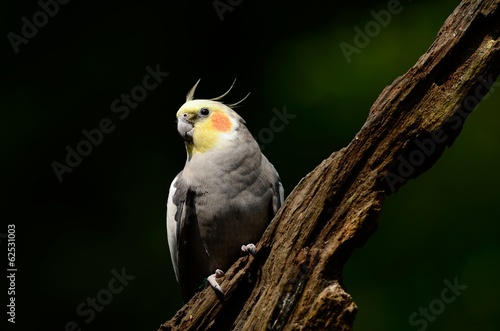 Photo Stands Parrot A beautiful cockatiel bird