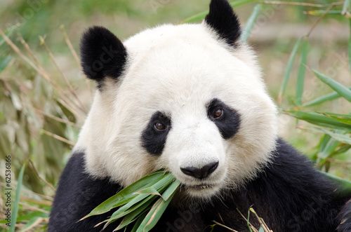 Giant Panda eating bamboo, Chengdu, China Canvas Print