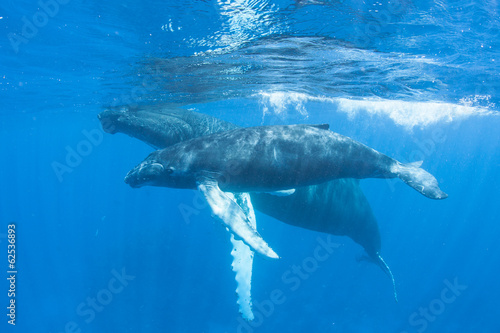 Photo  Humpback Mother and Calf