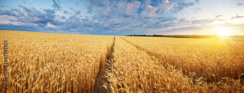Meadow of wheat. Fototapeta