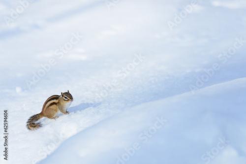 Fotografie, Obraz  雪原に立つエゾシマリス