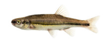 Side View Of An Eurasian Minnow, Phoxinus Phoxinus