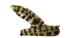 Side View Of A Snowflake Moray...
