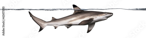 Fotografia Side view of a Blacktip reef shark swimming at the surface