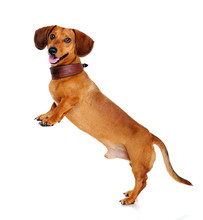 Dachshund Dog   Standing On Hind Legs