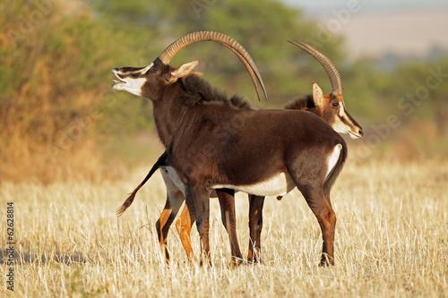 Fotografie, Obraz  Pair of sable antelopes