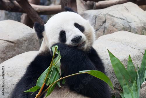 Fotografija  Panda bear