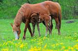 Koń z cielem na pastwisku