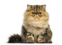Front View Of A Cranky Persian Cat Facing, Looking At The Camera