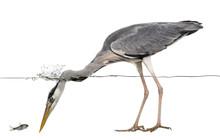 Side View Of A Grey Heron Look...