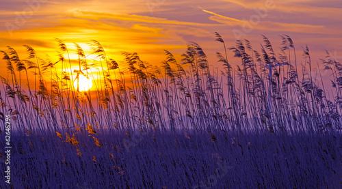 фотография  Sunrise in blue over reed in a field in winter