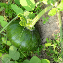 Fresh Baby Pumpkin On Ground