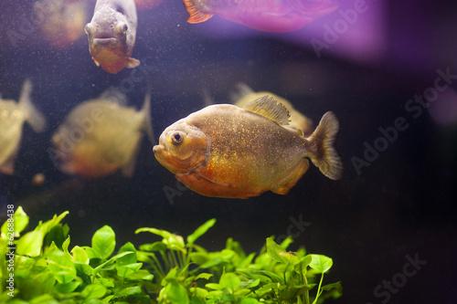 Red piranha (Serrasalmus nattereri) in natural environment Canvas-taulu