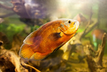Oscar Fish (Astronotus Ocellatus), Closeup Shot