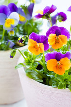 Colorful Pansies With Tiny Drops Of Morning Dew.