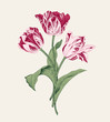Bouquet of three pink tulips on gray background