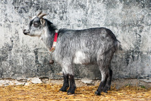 Invisible Young Grey Goat