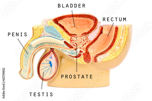 Male Genital Anatomy Buy This Stock Photo And Explore Similar