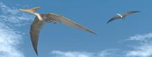 Pteranodon Dinosaurs Flying - ...