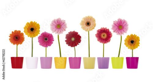 Ingelijste posters Gerbera Bunte Gerbera Blumen in Übertöpfen