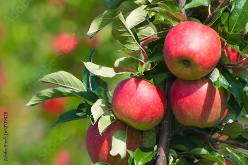 Rote Äpfel am Baum, Apfelbaum, Obstanbau, Plantage Canvas Print
