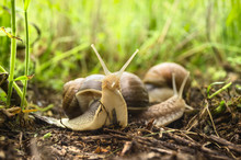 Two Snails In Tall Grass In Garden