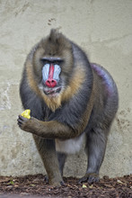 Isolated Mandrill Monkey Portr...
