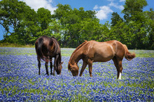 Two Horses Grazing In The Blue...