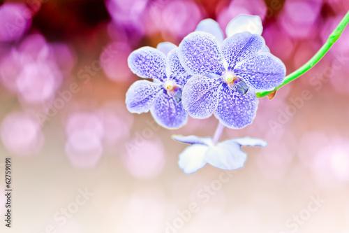 Vanda orchids in Thailand